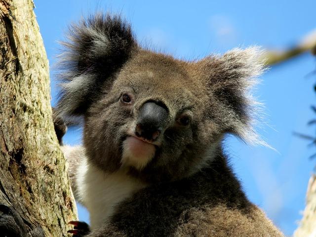 Jeg drømmer om at se Koalaer når vi rejser til Australien